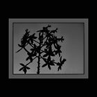 Terrestrial Orchid Silhouette by Kay  G Larsen