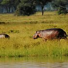 hippos out of water by nicolette