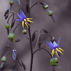 Dianella Revoluta by Jeff Catford