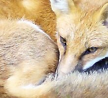 Resting Red Fox by 31images