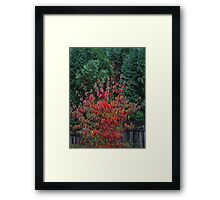 dogwood with conifer Framed Print