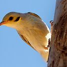 Yellow-tinted Honeyeater ~ Please say cheese by Robert Elliott