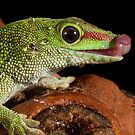 Madagascan Day gecko by Angi Wallace