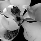 magnolia in bw by daniels