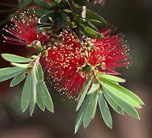 Bottlebrush by Joy Watson