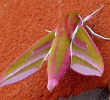 Elephant Hawk Moth by Sharon Perrett