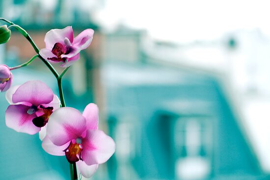 Orchid by Douzy