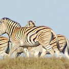 Burchells Zebra by countrypix