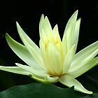Water Lily  by Suzy  Baines
