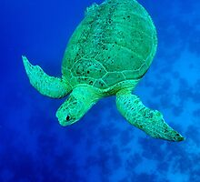 sea green turtle by bashta