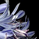 Lavender Agapanthus by Lesley Smitheringale