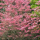 dogwood spring by Bruce  Dickson