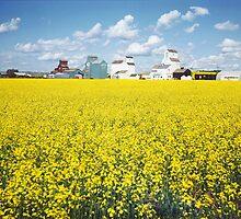 Canola field, Huxley, Alberta by Darbs
