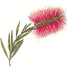 Bottlebrush by sweetscent62