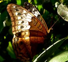 Backlit Butterfly by Margot Kiesskalt