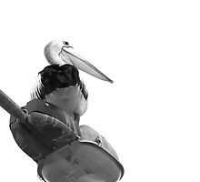 The Pelican by Shannon Mowling