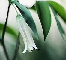 Wild Oats (Sessile Bellwort) by T.J. Martin