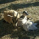 Mother Goat and Her Two Kids at Secor Farms, Mahwah NJ by Jane Neill-Hancock