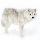 Winter Wolf: and the eyes of an Arctic Wolf by Poete100