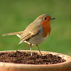 Robin by Terry Cooper