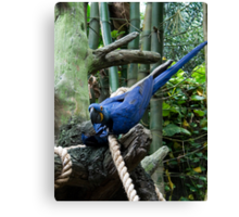 Blue Macaw Tussle Canvas Print