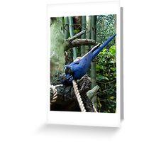 Blue Macaw Tussle Greeting Card
