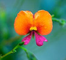Flame Pea - Chorizema cordatum by Renee Hubbard Fine Art Photography