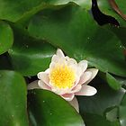 Lotus Blossom by Harriette Knight