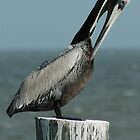 Charleston Pelican by KBSImages