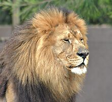 Aslan Captured by Deon de Waal