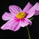 Cosmos by Anna Ridley