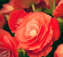 Begonia by damhotpepper