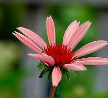 Echinacea cv. Katie Saul by Dency Kane