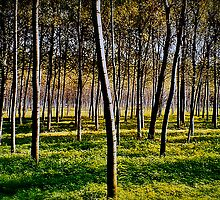 Silver Birches  by joolz