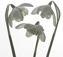 Galanthus nivalis flore pleno by John Edwards