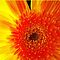 *Feature Page-Orange Macro - Gorgeous Flower Cards*