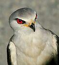 Black Shouldered Kite II by Macky