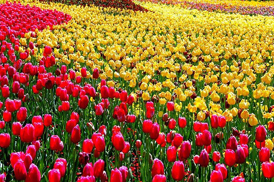Sea Of Tulips by Steven  Agius