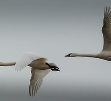 A pair of Tundra Swans crossing a winter sky by AgapeMn