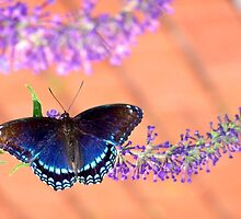 Brown and Blue Butterfly on Peach by Beth BRIGHTMAN