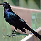 Male Grackle by George  Link
