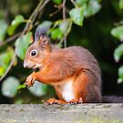 Red squirrel (Sciurus vulgaris) by Steve  Liptrot