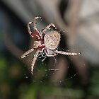 Garden Spider by Adrian Lord