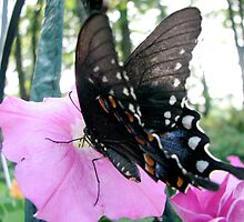 Tiger Swallowtail 2 by Danielle Kerese