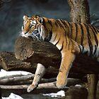 Tiger by Rich Sirko
