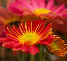 Bright Chrysanthemum - fine art garden photography by Megan Campbell by Megan Campbell