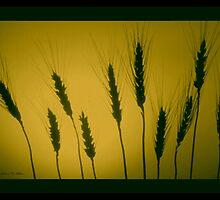 GOLDEN WHEAT  by Madeline M  Allen