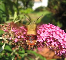 Hummingbird Moth by Danielle Kerese