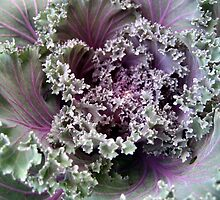 Flowering Cabbage by Danielle Kerese