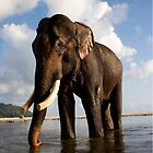 Indian elephant 'Rajan after bathing'  © 2010  Jacqueline Russell by OceanAdventures